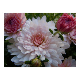 Soft Pink Chrysanthemum Poster