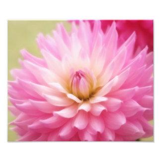 Soft Pink Dahlia Print Photographic Print