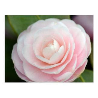 Soft Pink Spring Rose Postcard