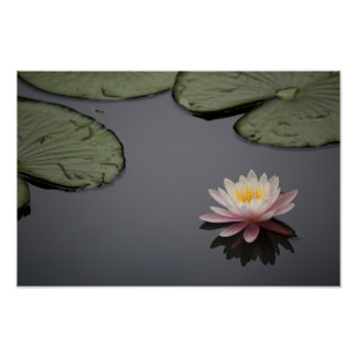 Soft Pink Waterlily Flower Poster