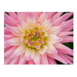 Soft Pink & White Dahlia DSC4463 Postcard