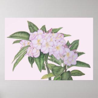 Soft Plumeria Poster
