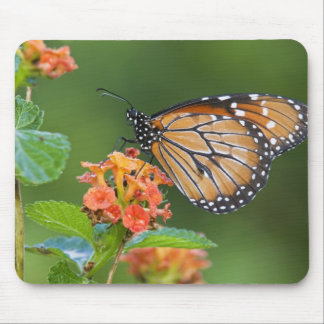 Soldier (Danaus eresimus) butterfly feeding on Mouse Pad
