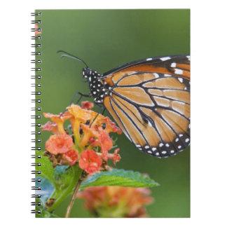Soldier (Danaus eresimus) butterfly feeding on Notebook