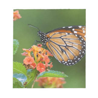 Soldier (Danaus eresimus) butterfly feeding on Notepad