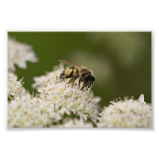 Solitary Bee Photo Print