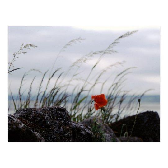 Solitary poppy, Lindisfarne, England - Postcard