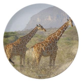 Somali Giraffe, Reticulated Giraffe, Giraffa Plate
