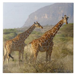 Somali Giraffe, Reticulated Giraffe, Giraffa Tile