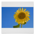 Sonnenblume Poster