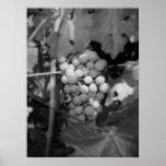 Sonoma grapes poster