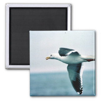 Sooty-backed or Western Gull Refrigerator Magnet
