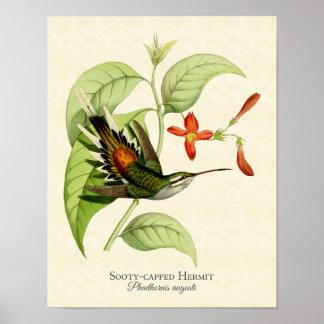 Sooty Capped Hermit Hummingbird Art Print