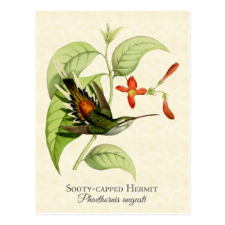 Sooty Capped Hermit Hummingbird Vintage Art Postcard