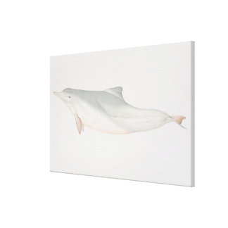 Sousa chinensis, Indo-Pacific Humpback Dolphin, Canvas Print