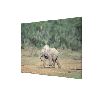 South Africa, Addo Elephant Nat'l Park. Baby Canvas Print