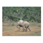 South Africa, Addo Elephant Nat'l Park. Baby Postcard