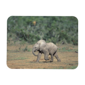 South Africa, Addo Elephant Nat'l Park. Baby Rectangular Photo Magnet