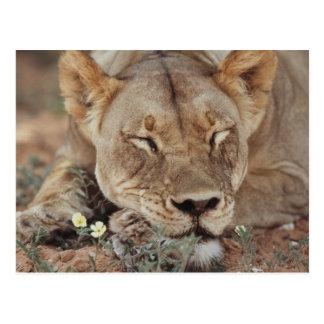 South Africa, Kalahari Gemsbok National Park 2 Postcard