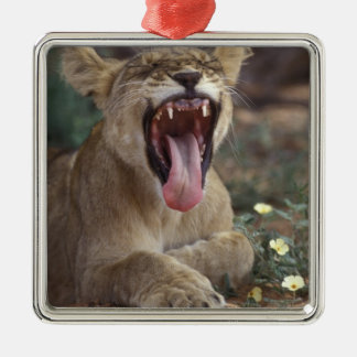 South Africa, Kgalagadi Transfrontier Park, Lion Christmas Ornament