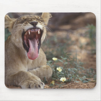South Africa, Kgalagadi Transfrontier Park, Lion Mouse Mat