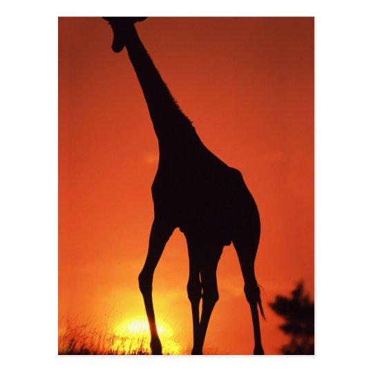 South Africa, Kruger NP.  Giraffe (Giraffa Postcard
