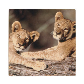 South Africa, lion cubs Wood Coaster