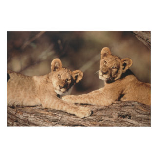 South Africa, lion cubs Wood Wall Art