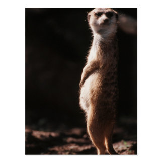 South Africa, Meerkat looking away Postcard