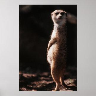 South Africa, Meerkat looking away Poster