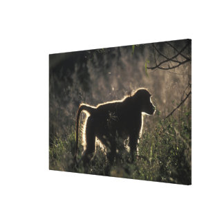South Africa, Pilanesburg Game Reserve, Chacma Canvas Prints