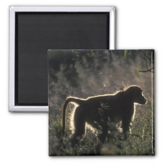 South Africa, Pilanesburg Game Reserve, Chacma Refrigerator Magnets
