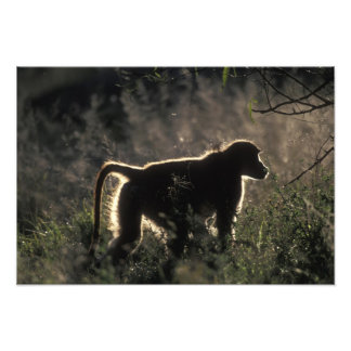 South Africa, Pilanesburg Game Reserve, Chacma Photographic Print
