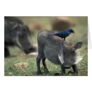 South Africa, Pilanesburg GR, Warthog Card