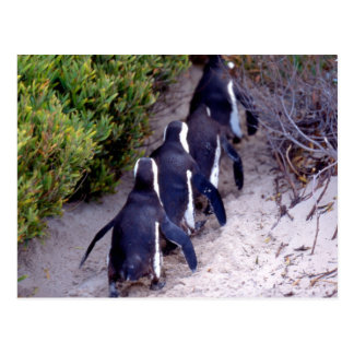 South Africa, Simons Town. Follow the leader. Postcard