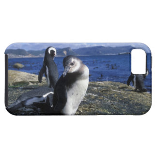 South Africa, Simon's Town, Jackass Penguin Case For The iPhone 5
