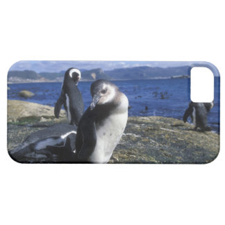 South Africa, Simon's Town, Jackass Penguin iPhone 5 Cover