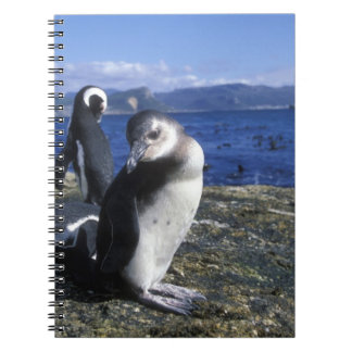 South Africa, Simon's Town, Jackass Penguin Notebooks