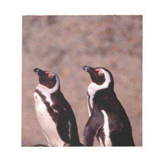 South Africa, Simons Town. Jackass Penguins 2 Notepad