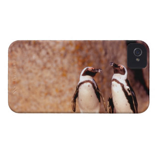 South Africa, Simons Town. Jackass Penguins 3 iPhone 4 Cover