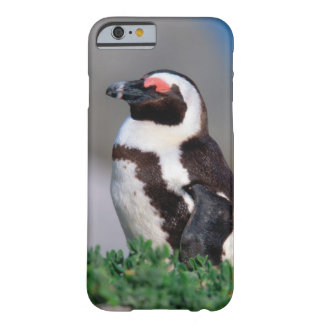 South Africa, Simons Town. Sleeping Jackass Barely There iPhone 6 Case
