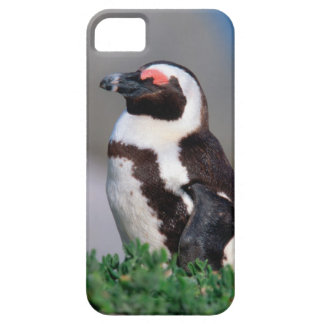 South Africa, Simons Town. Sleeping Jackass iPhone 5 Covers