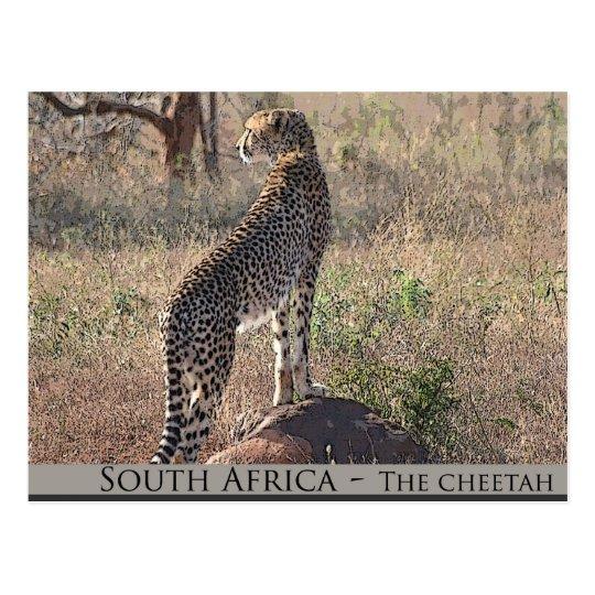 South Africa - the cheetah Postcard