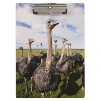 South Africa, View of ostrich Clipboard