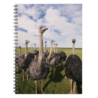South Africa, View of ostrich Notebooks