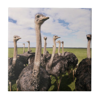 South Africa, View of ostrich Tile