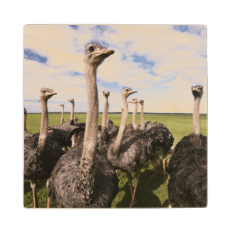 South Africa, View of ostrich Wood Coaster