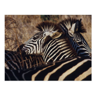South Africa, View of Zebra (Equus Burchellii) Postcard