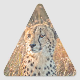 South African Cheetah searches for food Triangle Sticker