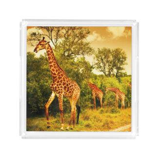 South African giraffes Acrylic Tray